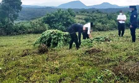 Matan a dos en Aracurio; cerca estaba un sembradío de marihuana. Noticias en tiempo real
